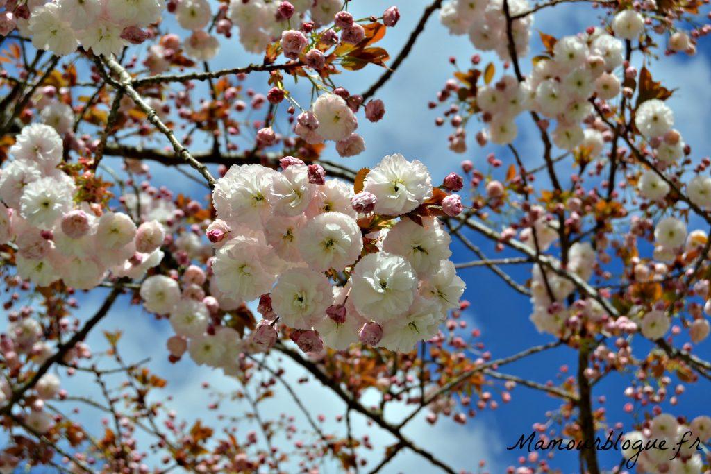 cerisiers angouleme