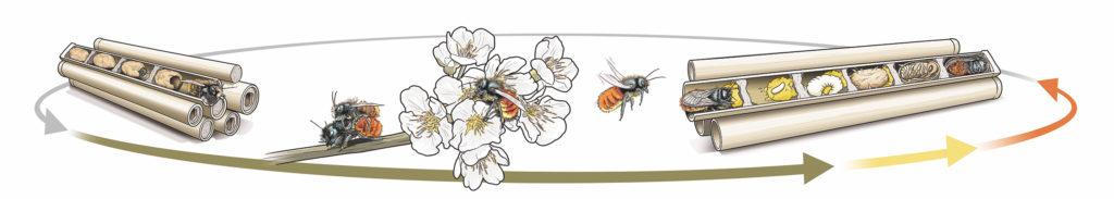 Cycle de vie abeille maçonne
